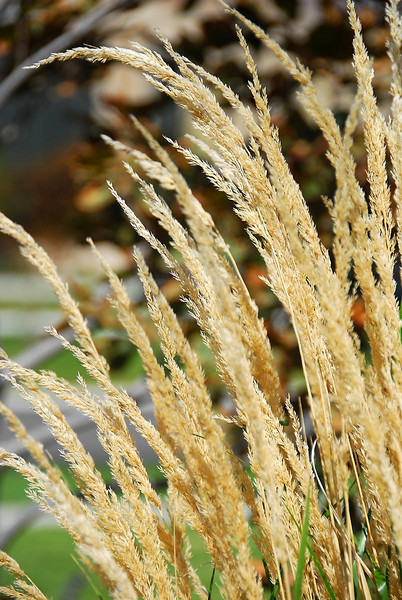 10/13/07 – I liked the texture of this tall dry grass. It is a special grass used in landscaping in commercial property and around golf courses. It fills in quickly and grows very tall adding nice contrast to the flowers and trees.