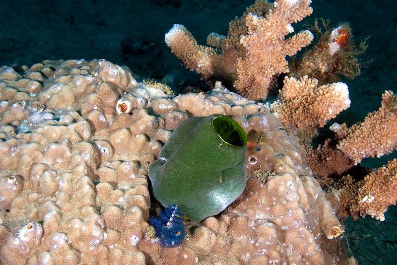 Tunicate.jpg