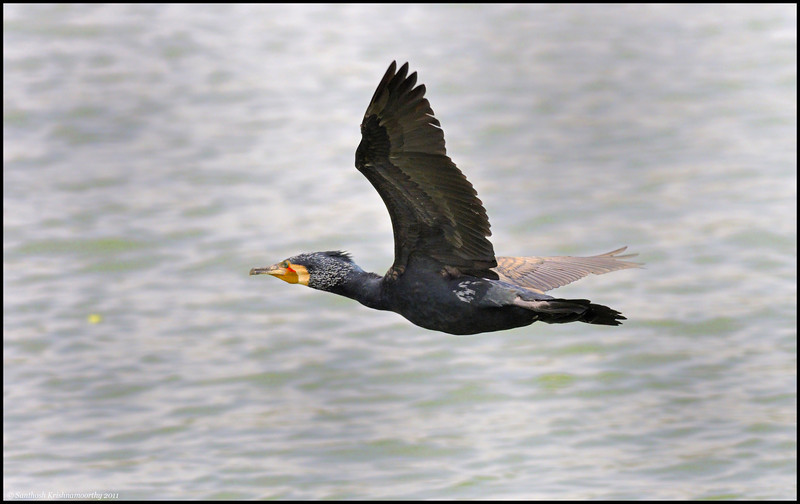 Greater Cormorant......