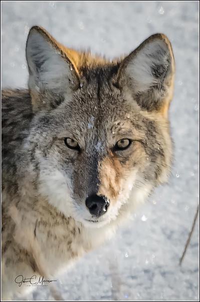 J85_1886 Coyote Face a crop LPW.jpg