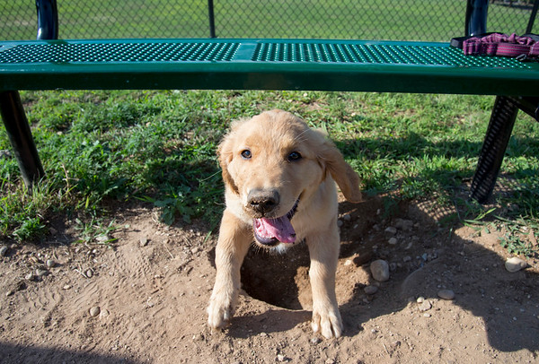 08/12/19 Wesley Bunnell | Staff Roxy, a three month old Golden Retriever, makes her way under a bench at the Washington Park Bark Park on Monday afternoon.