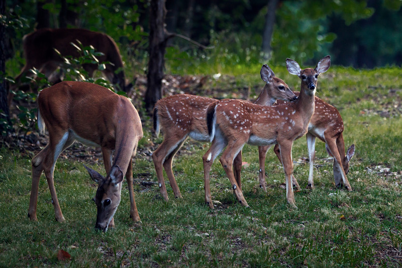 8.9.18 - Prairie Creek Recreation Area: Whitetail Deer