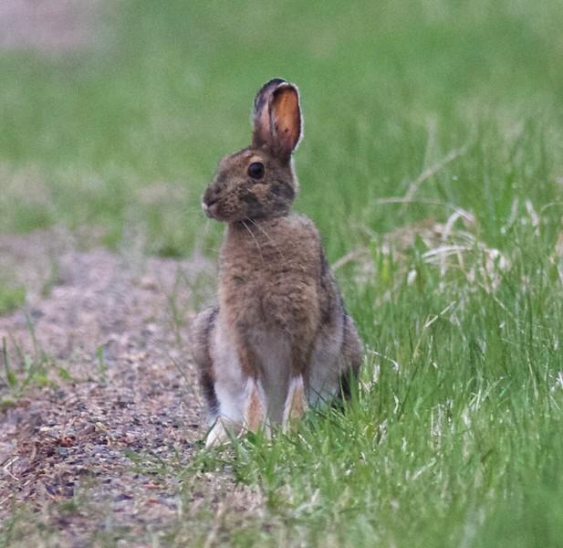 Snowshoe Hare Yellow-bellied Bog Peary Road Sax-Zim Bog MN IMG_3055.jpg