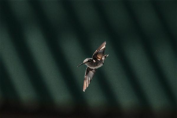 Hummingbird - 9-28-19 - Messenger-Inquirer