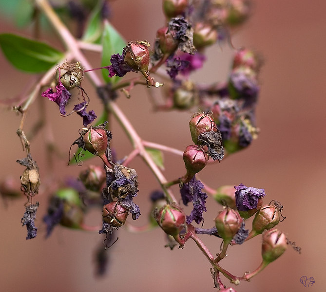 Crepe Myrtle; spent bloom and seed heads