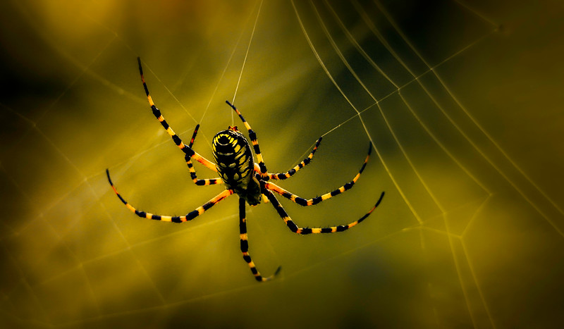 Spiders-Arachnids-157.jpg