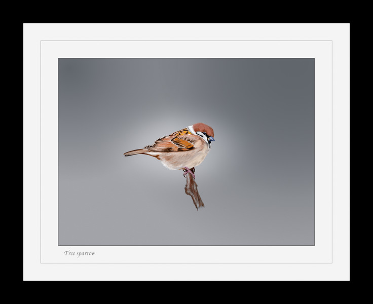 Tree sparrow frame.jpg