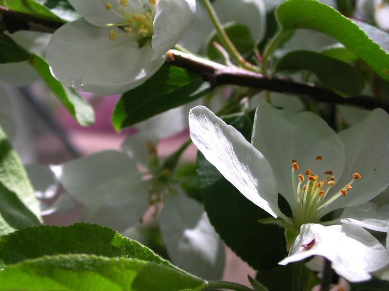 white bloom81.JPG