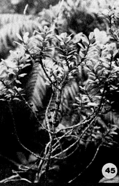 45. Myrsine sandwicensis Image from the Kaala Bog Plant Guide: Kaala Natural Area Reserve, Mt. Kaala, Oahu, a 1992 publication of the State of Hawaii (DLNR/DOFAW) .