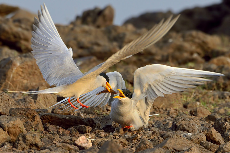 Will you marry me.!., says the River tern...bringing in a juicy fish snack.....
