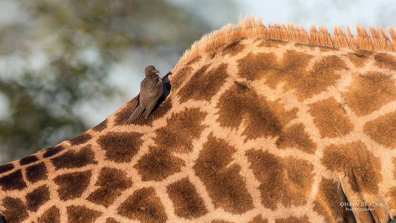 Southern Giraffe & Red-billed Oxpecker, Khwai River Concession, Botswana, May 2017-3.jpg