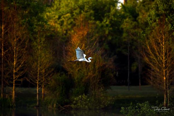 Great Egret's