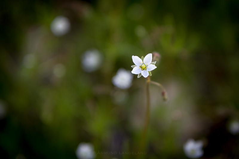 Linbendel (Spergula arvensis)