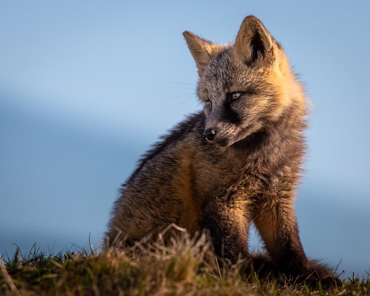 arctic fox close up -3544.jpg