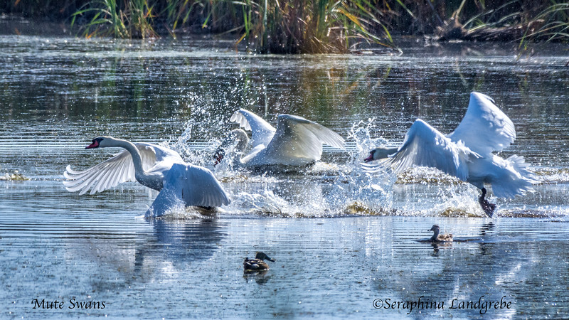 _DSC7875Three swans takeoff.jpg