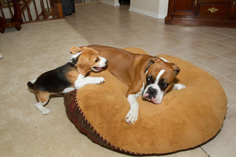 My Pillow Pup