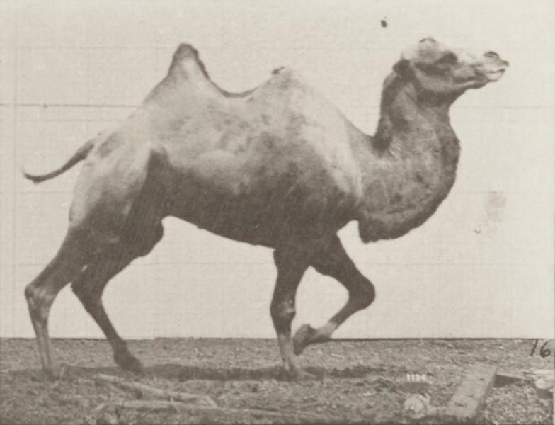 Bactrian camel racking