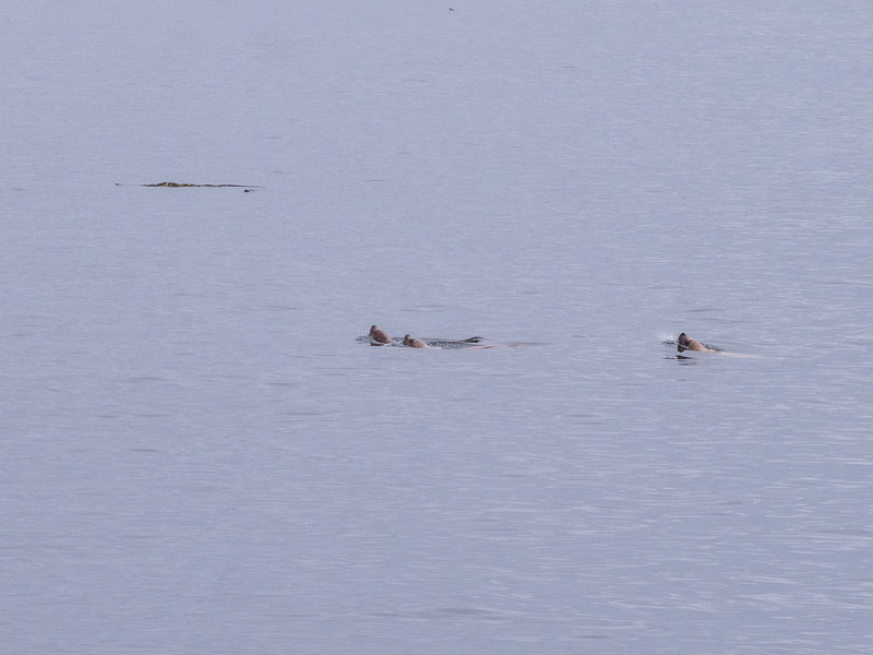 Sea Lions on the prowl