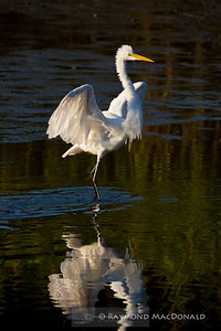 Egret; Great & Snowy