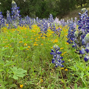 Central Texas Wildflowers - April 2019
