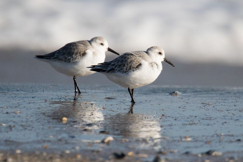 Sanderlings Fall 2019-3.jpg