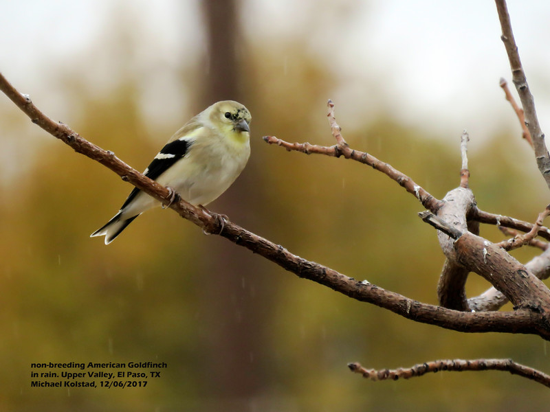 IMG_8776 3T non-breeding American Goldfinch #1 our home 1206.jpg