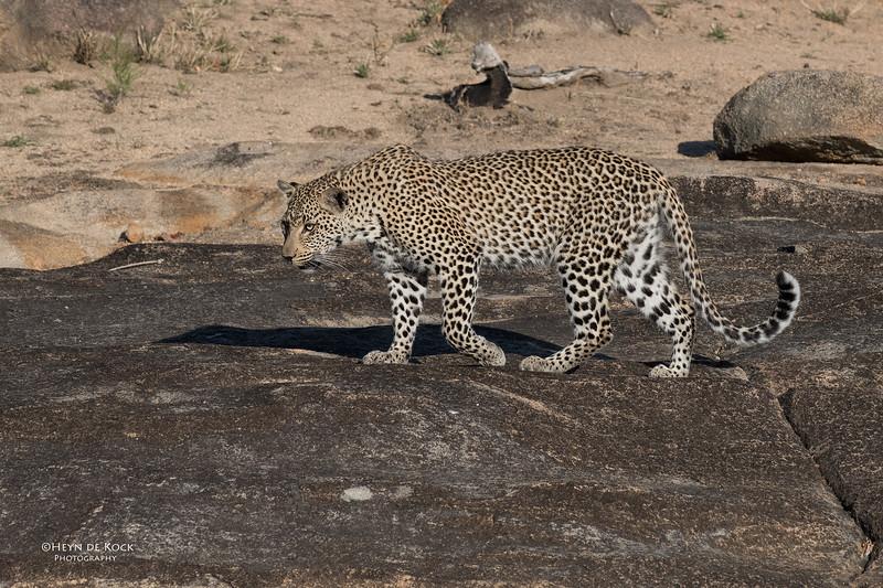 Leopard (Tiyane), Sabi Sands (EP), SA, Oct 2016-1.jpg