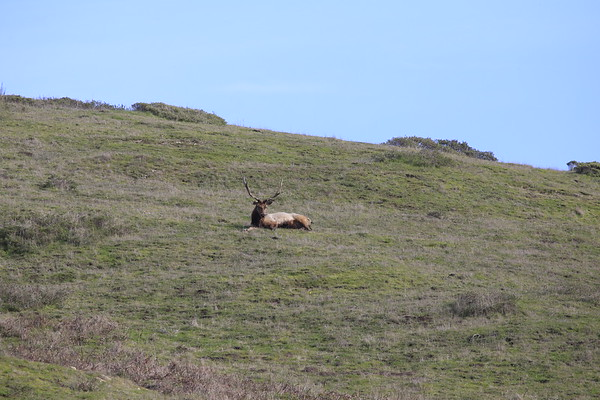 Tule Elk - Home Ranch Pt. Reyes