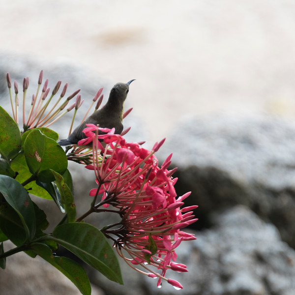 Bird perching on flowering plant, Koh Samui, Surat Thani Province, Thailand