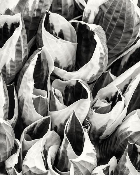 hosta-leaves.jpg