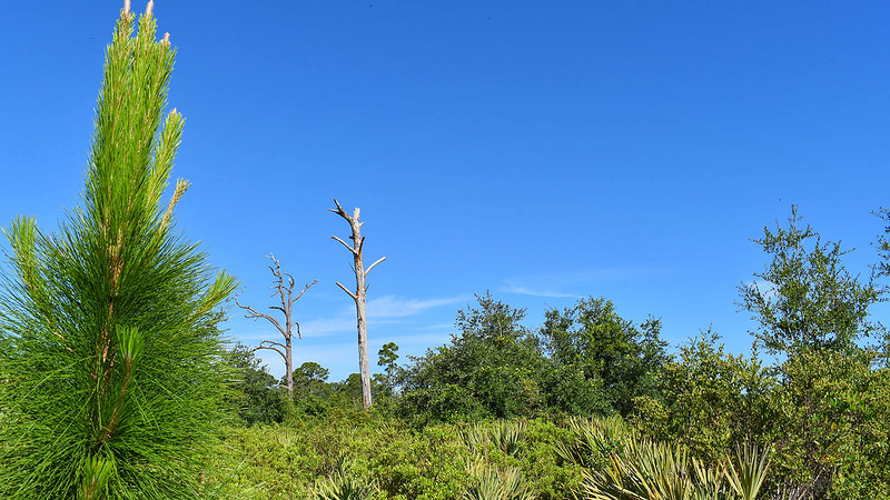 Young longleaf pine in foreground of dense scrub understory