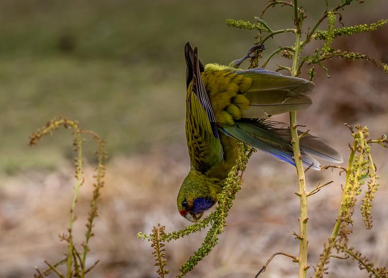 Green Rosella, Maria Island, Tasmania