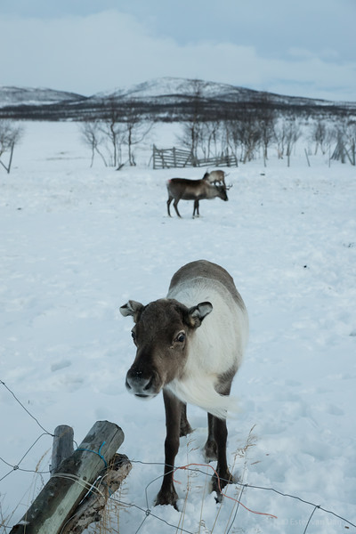 Curieus Reindeer
