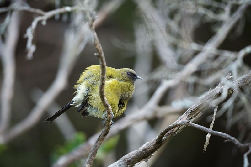 Bellbird at Orokonui Ecosanctuary