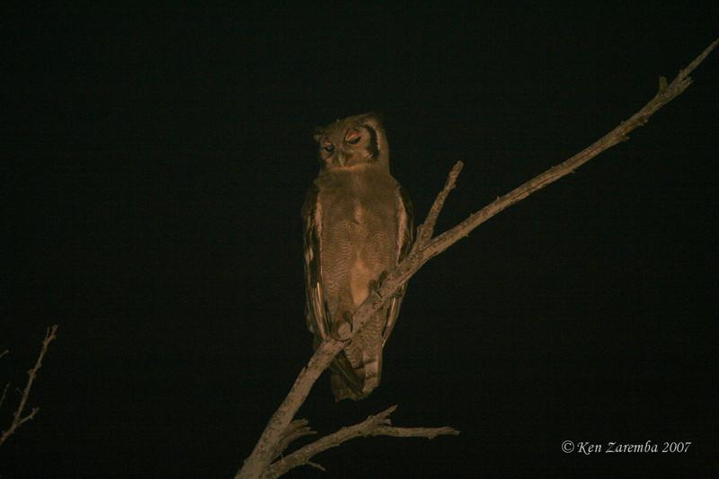 Verreaux's Eagle Owl, Mala Mala Game Reserve, South Africa
