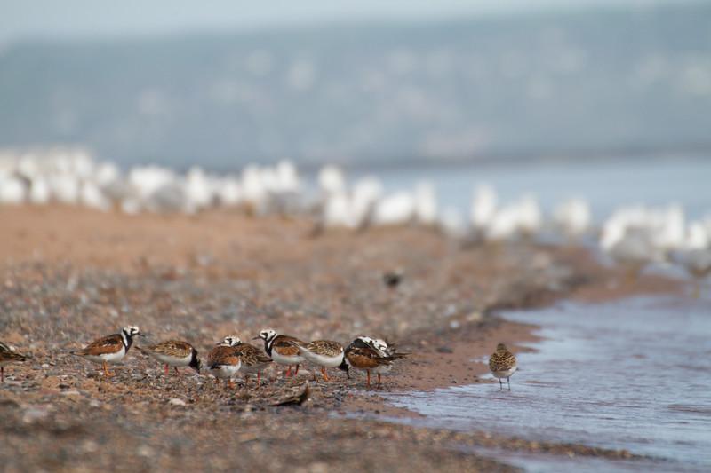 Ruddy Turnstone flock Dunlin Wisconsin Point Superior WIIMG_0054.jpg