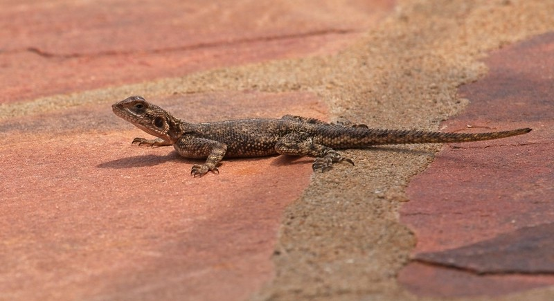 Agama Lizard (female)