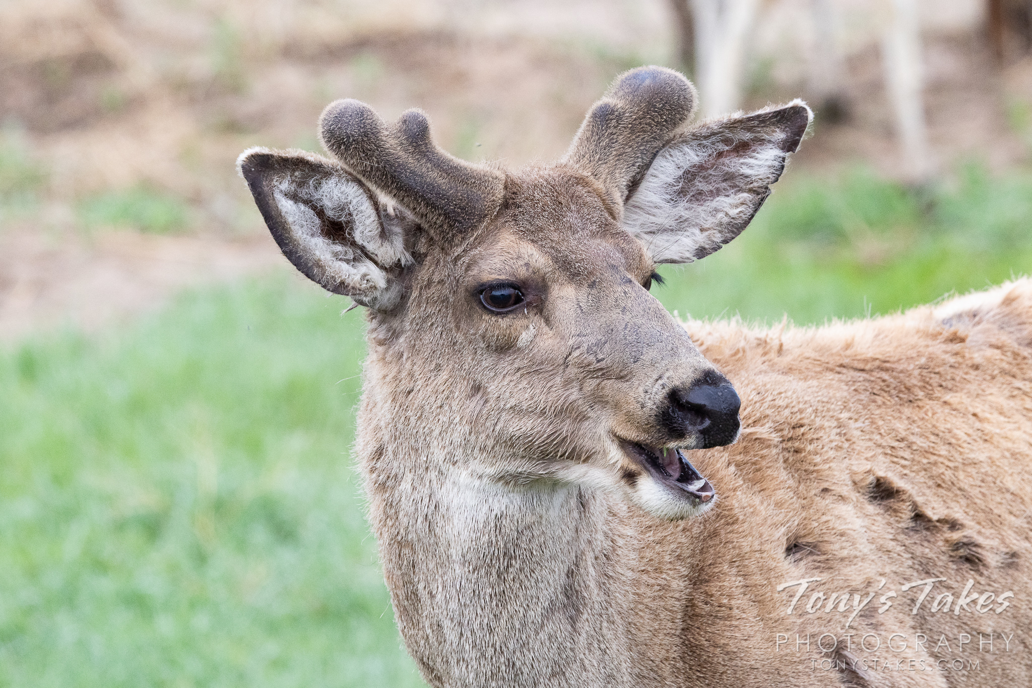 A mule deer shows off its growing antlers. (© Tony's Takes)