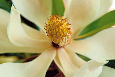 _DSC3641_Magnolia