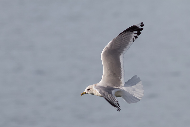 Mew Gull Adult - Note the wing tips are NOT all black - TWO mirrors