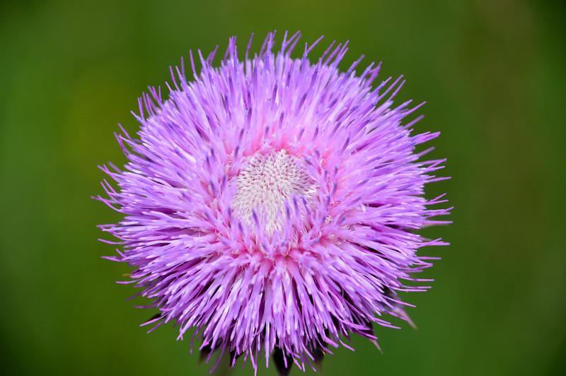 Thistle-purple.jpg