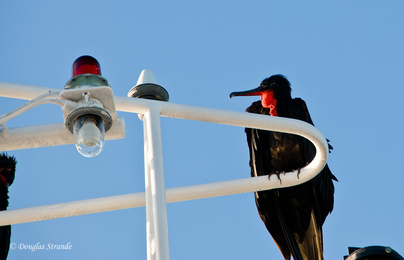 Male Frigate Bird perched on the Xpedition