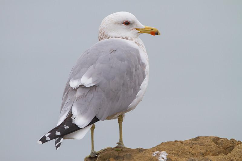 California Gull - Richmond, CA, USA