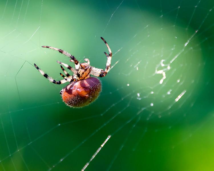 Pumpkin Spider (Araneidae)