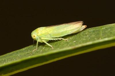 Tree & Leaf Hoppers, Cicadas (Homoptera)