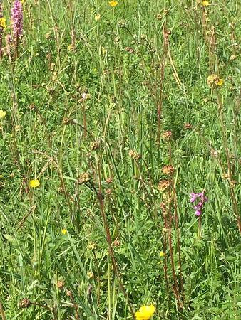 Hardington meadow orchids bottom field 13.5.17