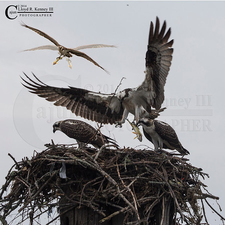 The Osprey's Nest 2014