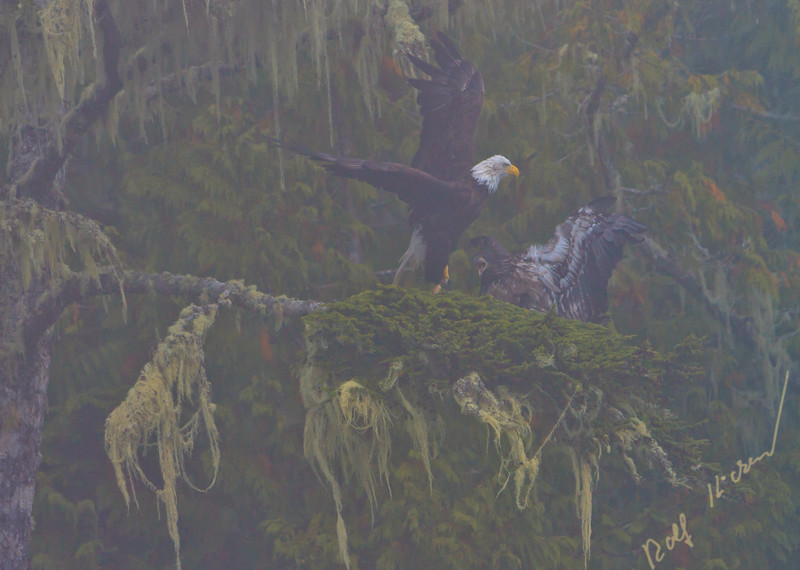 Bald eagle adult and chick on an foggy morning in the Broughton Archipelago, First Nations Territory, British Columbia, Canada.