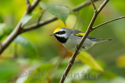 Golden-Winged Warblers