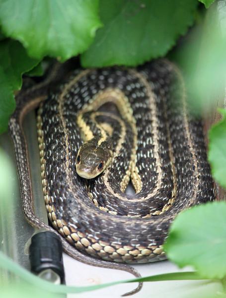 garter snake 2.jpg